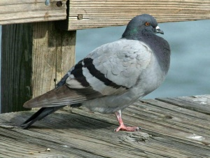 Feral Blue Bar pigeon
